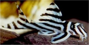 zebra-pleco