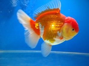Tips memilih ikan koki jenis oranda.....!!!