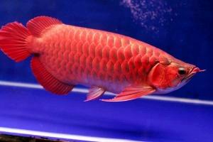 arwana-super-red