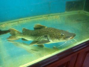 Jenis-jenis ikan catfish yang exist di indonesia....!!!