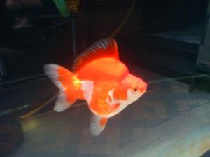 Tips memilih ikan koki jenis ryukin yang bagus.....!!!!!