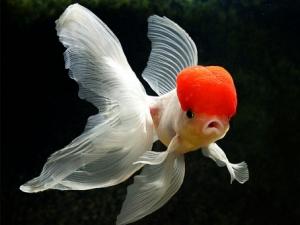 Jenis-jenis ikan koki.....!!!
