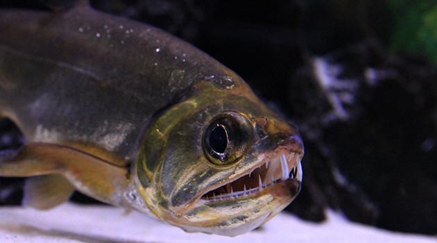Gambar candiru ikan vampir bisa mengganas tubuh manusia for Predatory freshwater fish