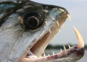 killer-fish-piranha-pictures3