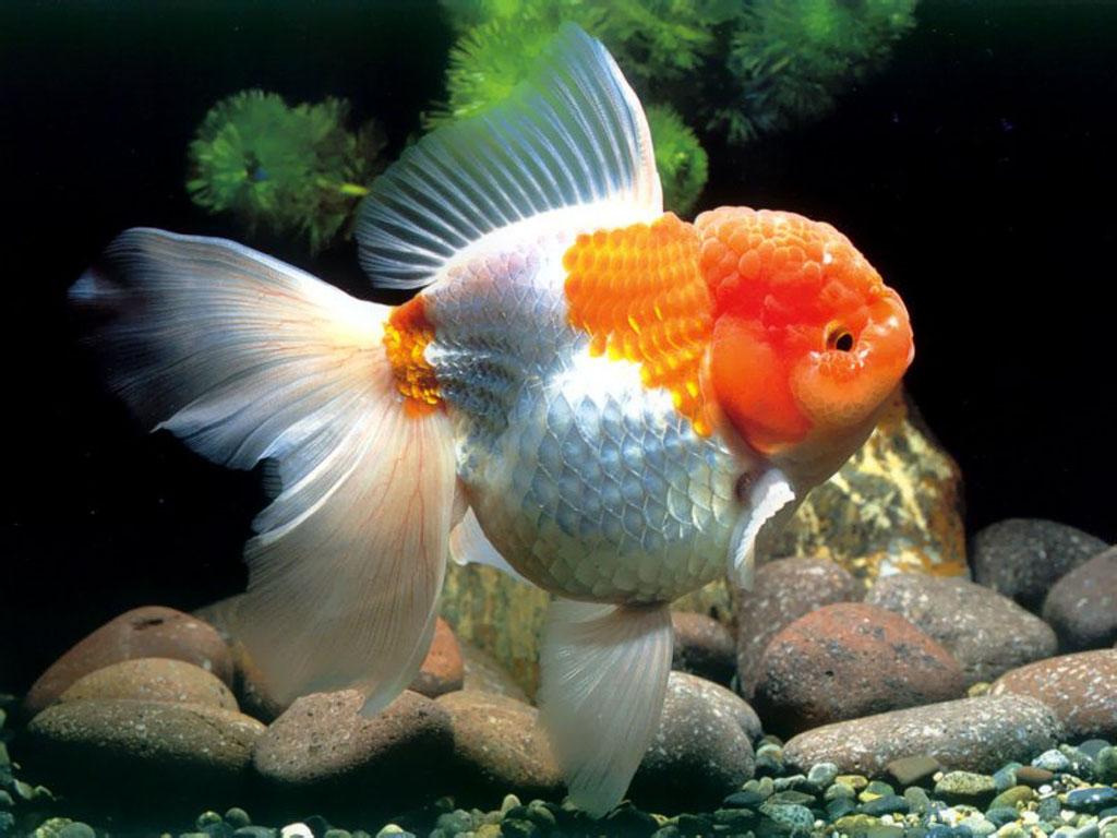 Tips Memilih Ikan Koki Jenis Oranda Ferboescom