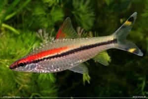 Puntius-Denisonii-4