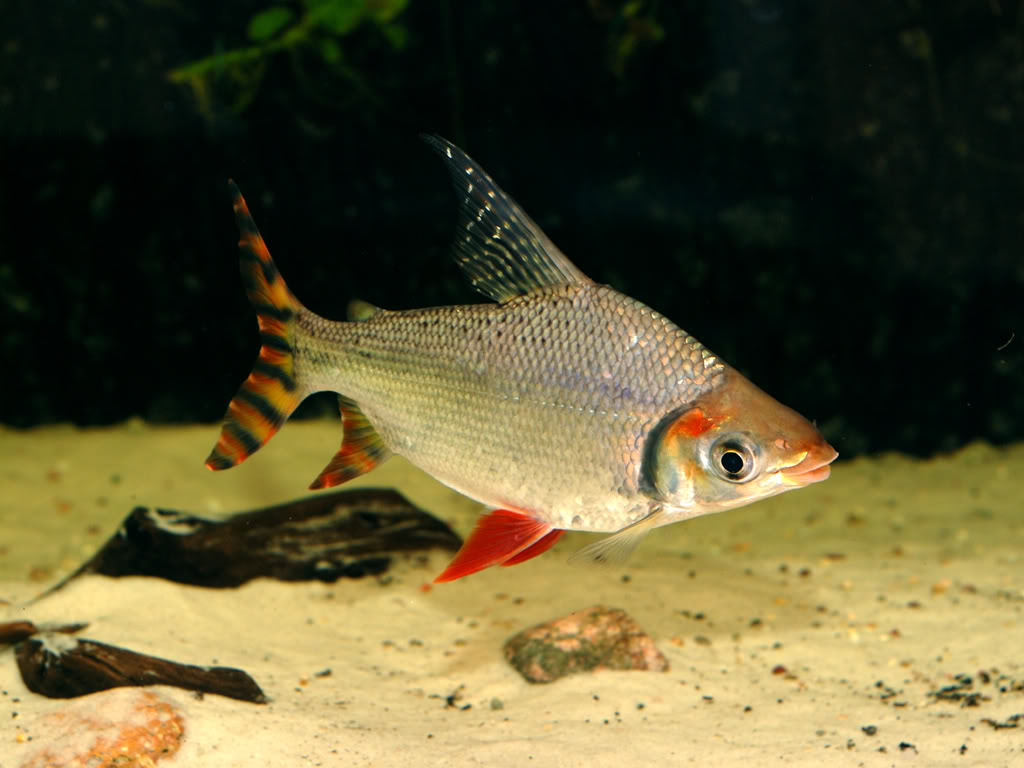 American flagtail