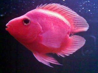 MITOS Ikan Pembawa HOKKI Ferboes