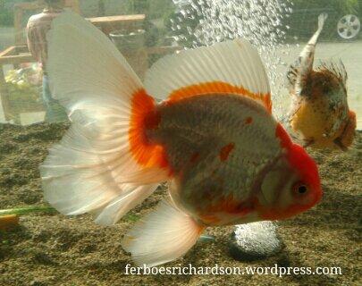 Makanan Ikan Koki Yang Bagus Ferboes Com