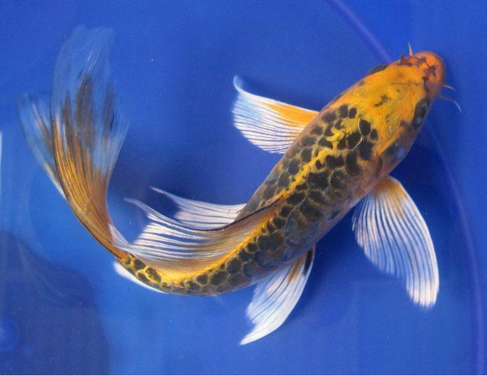 Ikan Yang Cocok Dipelihara Dikolam Ferboes Com