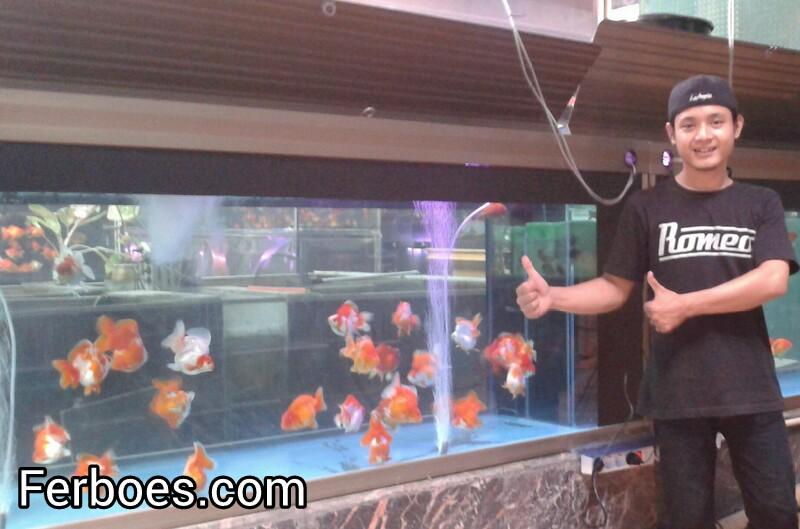 Ikan Koki Berkualitas Disini Tempatnya Ferboes Com