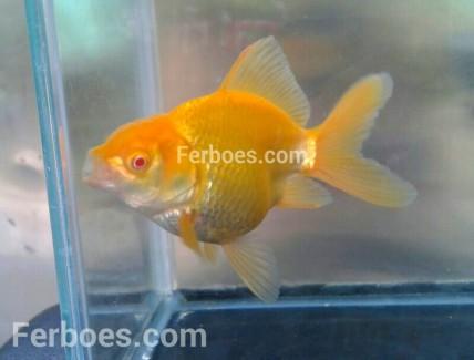 wpid-oranda-albino-01.jpg.jpeg