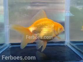 wpid-oranda-albino-04.jpg.jpeg