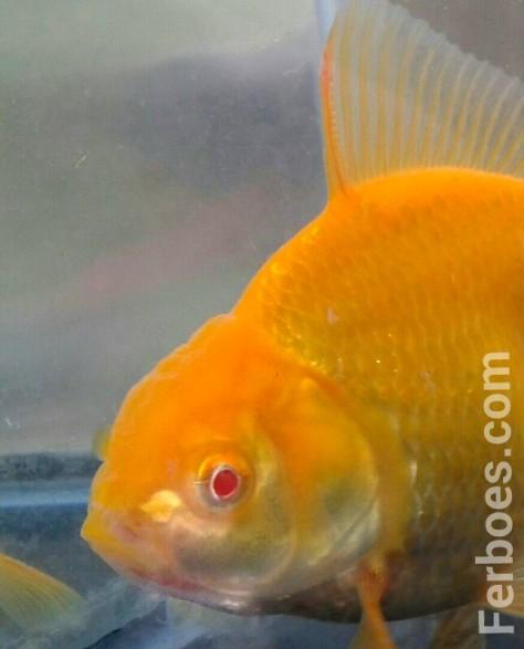 wpid-oranda-albino-08.jpg.jpeg