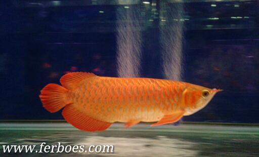 Ikan Arwana Kesayangan Dimasak Oleh Nenek…???OMG…!!!