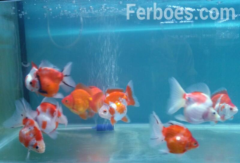 Makanan Ikan Koki: Hemat Berkualitas…!!!