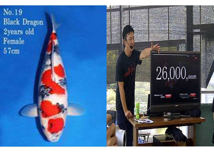 Ikan Koi Termahal Terjual Seharga Rp. 2,68Milyar