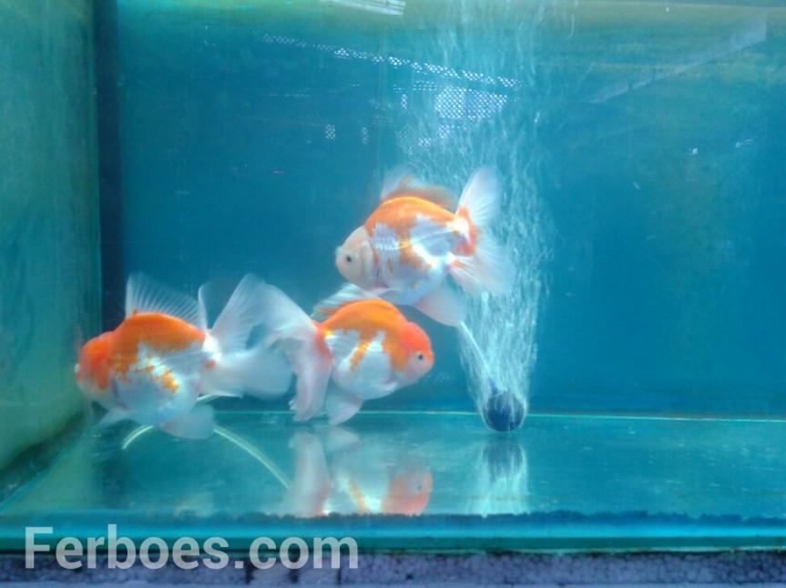 Mutasi Warna Pada IkanKoki…!!!