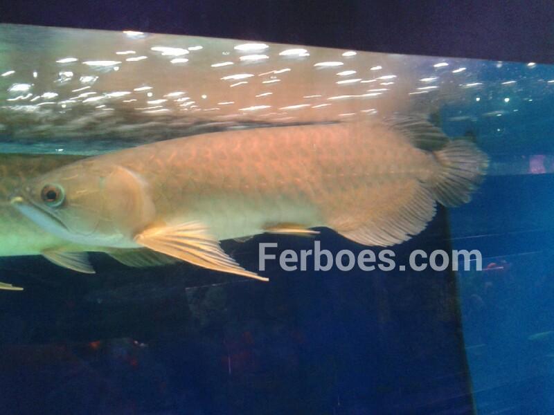 Perbedaan Ikan Arwana Banjar dan Pino | Ferboes.com