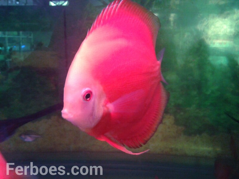 Discus Red Melon: This Is Absolutely Red…!!!