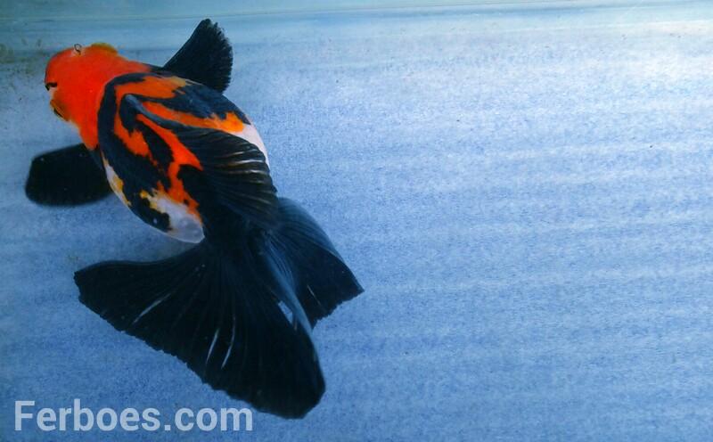 Tips Agar Ikan Koki Selalu Lincah…!!!