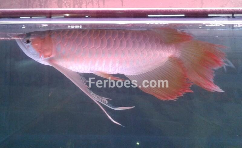 Ikan Arwana Spesial di Kontes Arwana2014