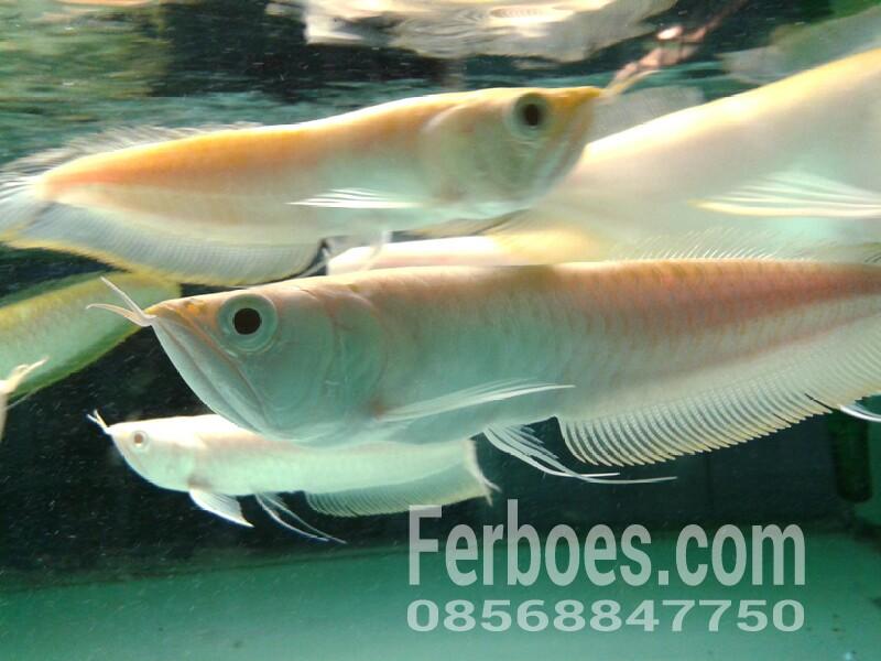 Arwana Silver Albino Ferboes Com