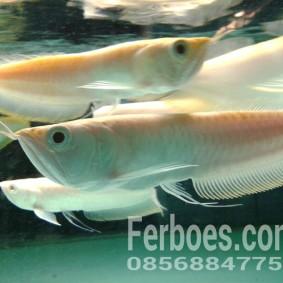 wpid-arwana-silver-albino.jpg.jpeg