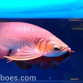 wpid-arwana-super-red-by-cbs-arowana-01.jpg.jpeg