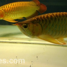 wpid-arwana-super-red-by-cbs-arowana-05.jpg.jpeg