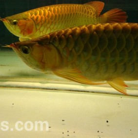 wpid-arwana-super-red-by-cbs-arowana-06.jpg.jpeg