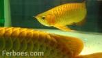wpid-arwana-super-red-by-cbs-arowana-07.jpg.jpeg
