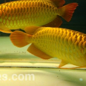 wpid-arwana-super-red-by-cbs-arowana.jpg.jpeg