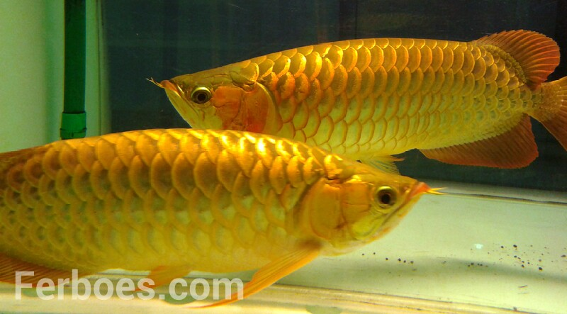 Arwana Super Red  by CBS Arowana