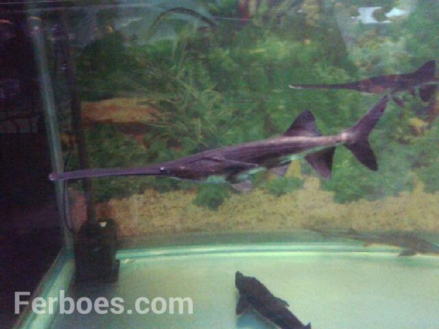 Jenis Ikan Hias Air Tawar Yang Langka Dota 2 Haha