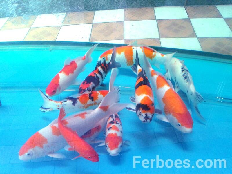Jenis – Jenis IkanKoi…!!!