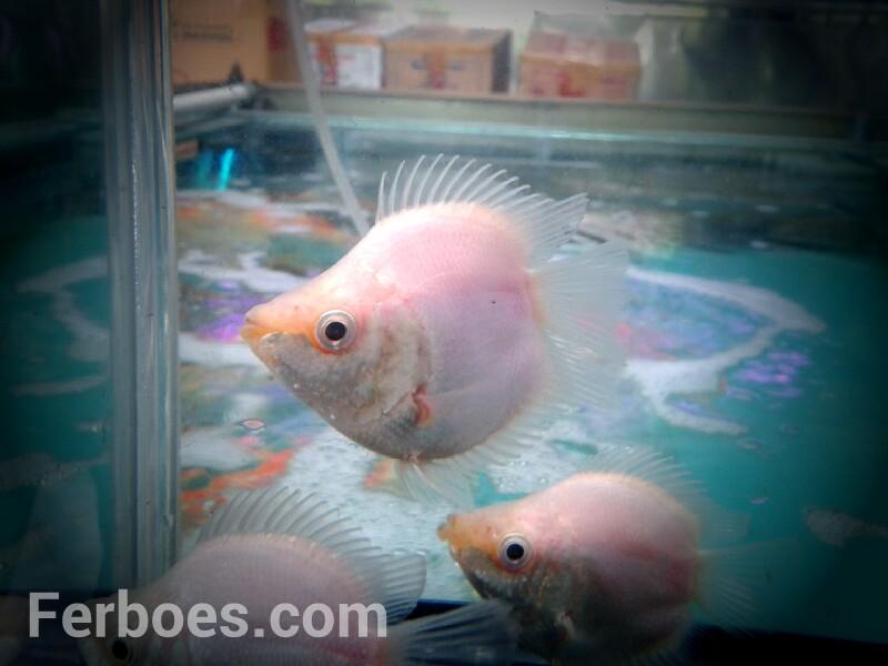 Ikan Kissing Gurame Lucu Juga Nih Ferboes Com