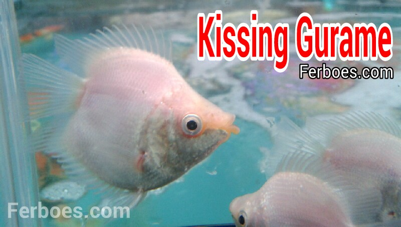 Ikan Kissing Gurame: Lucu JugaNih….!!!