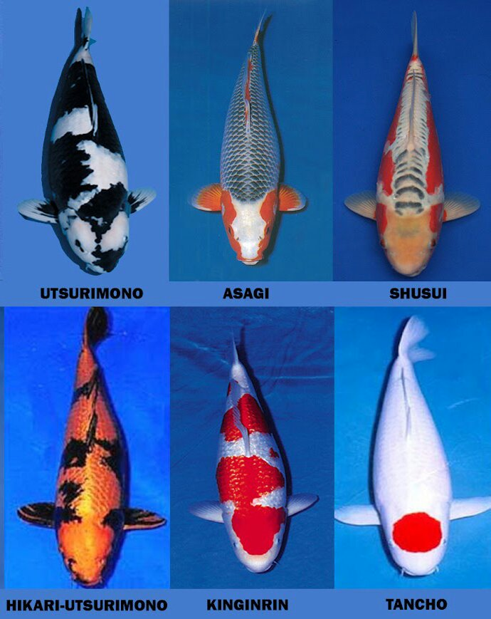 Jenis Jenis Ikan Koi Ferboes Com