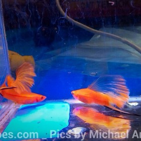wpid-platy-sailfin-swordtail-03.jpg.jpeg
