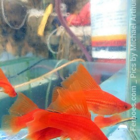 wpid-platy-sailfin-swordtail-12.jpg.jpeg