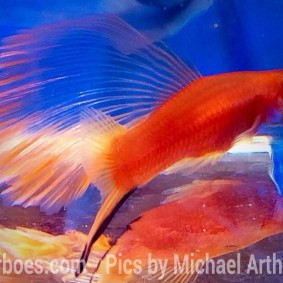 wpid-platy-sailfin-swordtail.jpg.jpeg