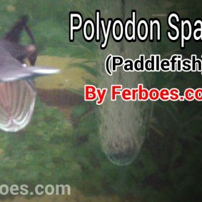 wpid-polyodon-spatulla-paddlefish.jpg.jpeg