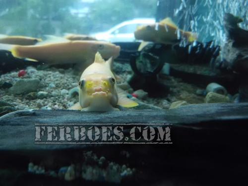 Algae Eater: Ikan Sapu-sapu Yang Rajin Tapi Usil...!!!