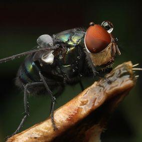 Lalat-7.jpg