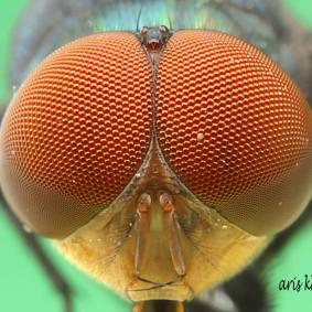 Lalat-6.jpg