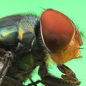 Lalat-4.jpg