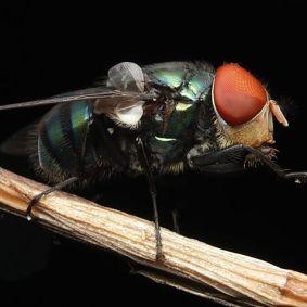 Lalat-5.jpg