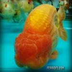 Ranchu orange jumbo.jpg