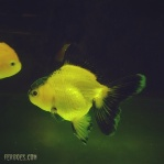 Oranda yellow black.jpg